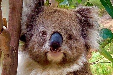 Wildlife Koala